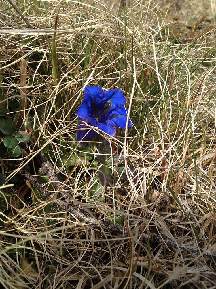 Blume am Stubeck - wo der Enzian blüht!